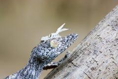 (Uroplatus sikorae)被伪装的生苔叶子被盯梢的壁虎 库存图片
