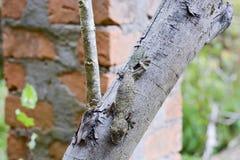 (Uroplatus sikorae)被伪装的生苔叶子被盯梢的壁虎 免版税图库摄影