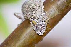 (Uroplatus sikorae)被伪装的生苔叶子被盯梢的壁虎 库存照片