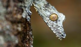 Uroplatusgekko in Madagascar stock fotografie