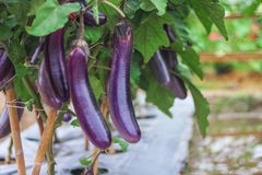 Urple-Auberginengruppe, die am Baum im organischen Gemüsebauernhof hängt lizenzfreie stockfotografie