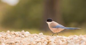 urraca Azul-coa alas en la tierra pedregosa Foto de archivo