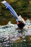 Urraca azul formosana Foto de archivo libre de regalías