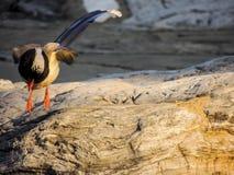 urraca azul Rojo-cargada en cuenta, pájaro imagen de archivo libre de regalías