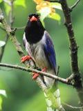 urraca azul Rojo-mandada la cuenta Fotos de archivo