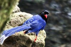 Urraca del azul de Taiwán Foto de archivo libre de regalías
