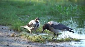 Urraca dos que lucha para la comida cerca de la orilla del río metrajes