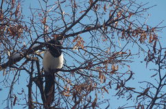 Urraca en árbol Foto de archivo libre de regalías