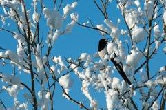 Urraca en nieve Foto de archivo