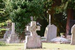 Urraca encaramada en cruz de la lápida mortuaria Imágenes de archivo libres de regalías