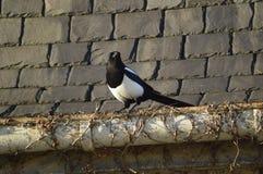 Urraca, mirando pájaro agradable, blanco y negro Imagen de archivo libre de regalías