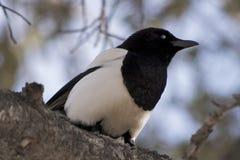Urraca Negro-Cargada en cuenta Imagen de archivo