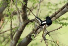 Urraca-petirrojo oriental encaramado en un árbol Fotos de archivo