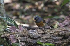 Urraca Robin Bird Fotos de archivo