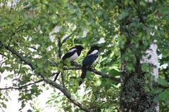 Urracas en el árbol Fotografía de archivo libre de regalías