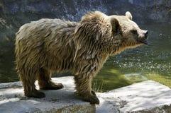 Ursidae. Is a big animal mammal bear Stock Photo