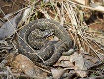 Ursini的蛇蝎在春天阳光取暖。 免版税库存图片