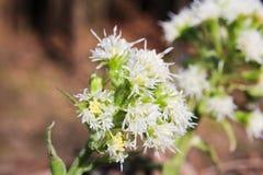Ursinum del allium con el fondo y la abeja marrones Foto de archivo libre de regalías