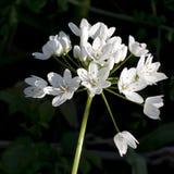 Ursinum dell'allium - aglio selvaggio in legno Fiori bianchi Fotografie Stock Libere da Diritti