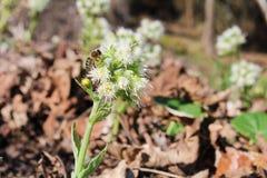 Ursinum dell'allium con l'ape dal lato Immagini Stock