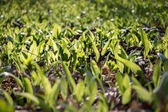 Ursinum dell'allium conosciuto come sopporta aglio in foresta suny Immagini Stock Libere da Diritti