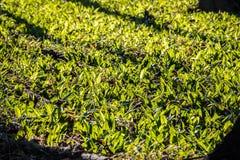 Ursinum dell'allium conosciuto come sopporta aglio nella foresta soleggiata della molla Fotografia Stock