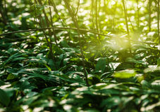 Ursinum dell'allium dell'aglio selvaggio nella foresta di primavera Immagine Stock Libera da Diritti