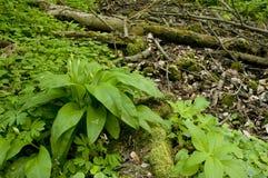 ursinum della natura dell'allium selvaggio Immagini Stock