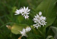 Ursinum di fioritura dell'allium Fotografia Stock