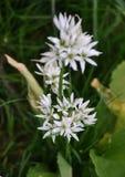 Ursinum di fioritura dell'allium Fotografie Stock
