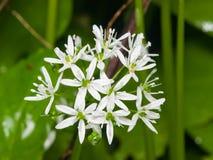 Ursinum di fioritura dell'allium o dell'aglio selvaggio, fiori in primo piano delle gocce di pioggia del weedwith, fuoco selettiv Immagine Stock