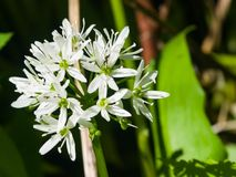 Ursinum di fioritura dell'allium o dell'aglio selvaggio, fiori in primo piano dell'erbaccia, fuoco selettivo, DOF basso Fotografia Stock