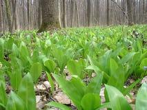 Ursinum do Allium Fotografia de Stock Royalty Free