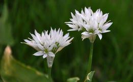 Ursinum floreciente del allium Foto de archivo