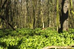 Ursinum sano dell'allium dell'aglio dell'primavera-orso Immagini Stock
