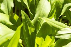 Ursinum sano dell'allium dell'aglio dell'primavera-orso dettaglio Fotografia Stock