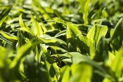 Ursinum sano dell'allium dell'aglio dell'primavera-orso dettaglio Fotografia Stock Libera da Diritti