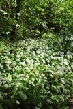 Ursinum selvaggio dell'allium dell'aglio degli orsi in fiore nella foresta rivierasca in Lipsia, Germania Fotografia Stock