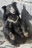 ursinus лени имени melursus медведя латинское Стоковые Изображения RF