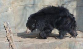 ursinus лени имени melursus медведя латинское Стоковое Фото