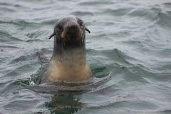 Ursinus do norte selvagem do Callorhinus do lobo-marinho na ilha n de Tuleniy fotos de stock royalty free
