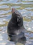 ursinus för skyddsremsa för callorhinuspäls latinsk name Arkivfoto