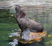 ursinus för skyddsremsa för callorhinuspäls latinsk name Royaltyfri Fotografi
