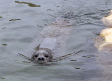 ursinus för skyddsremsa för callorhinuspäls latinsk name Royaltyfri Foto