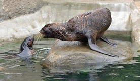 Ursinus septentrional del Callorhinus de dos lobos marinos Conflicto fotos de archivo libres de regalías