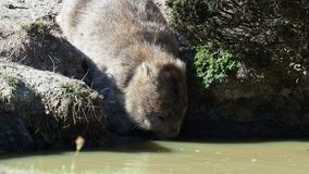 Ursinus Vombatus - κοινό wombat στο τασμανικό τοπίο, λακκούβα κατανάλωσης στο νησί κοντά στην Τασμανία φιλμ μικρού μήκους