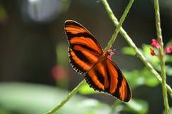 Ursnygg apelsin och svart ek Tiger Butterfly Royaltyfria Bilder