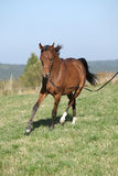 Ursnygg arabisk hästspring på höstbetesmark Royaltyfria Foton