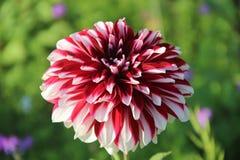 ursnygg blomma royaltyfria foton