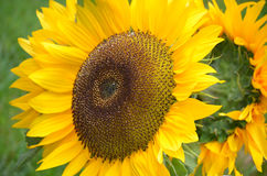 Ursnygg blommande gul blomningsolros Fotografering för Bildbyråer